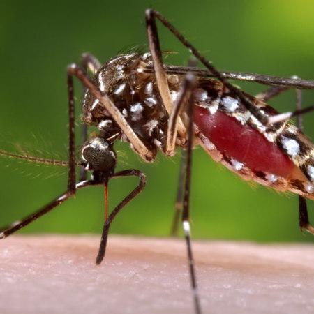 Zanzara Chikungunya, allarme epidemia: come difendersi